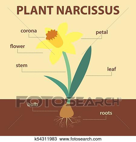 diagram of a flowering plant with label sony xplod amp wiring clipart vector showing parts narcissus whole agricultural infographic daffodil scheme labels for education biology flower leaf stem