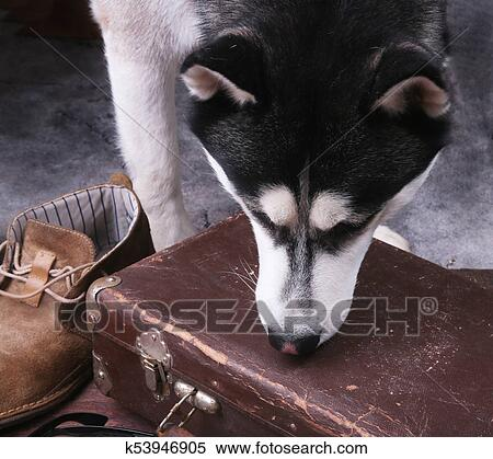 Dog sniffs out drugs or bomb in a luggage. Stock Photography   k53946905   Fotosearch