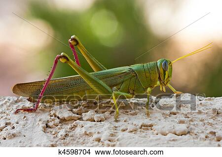 Stock Photo of Green Grasshopper With Long Antennae