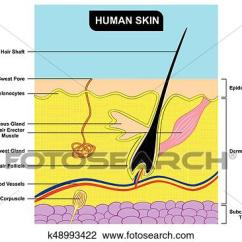 Skin Cross Section Diagram 3 Wire Underwriter S Knot Clipart Of Human Anatomy K48993422 Fotosearch Search Clip Art Illustration