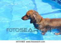Stock Foto - nasse, rot, langhaardackel, in, a, schwimmbad ...