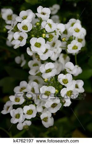 sweet alyssum lobularia