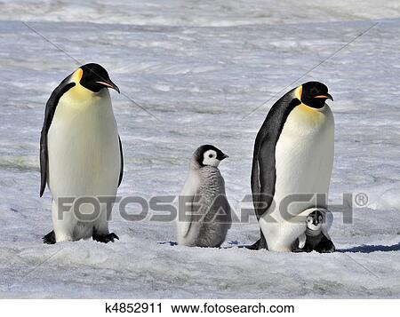 皇帝企鵝 種類最齊全的圖像 | k4852911 | Fotosearch