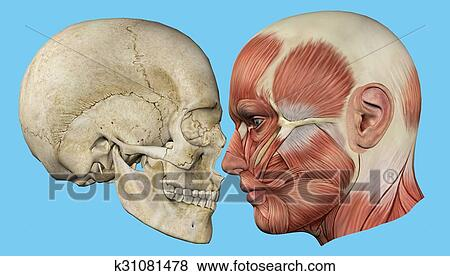 Skull and Muscles Profile Stock Illustration   k31081478   Fotosearch