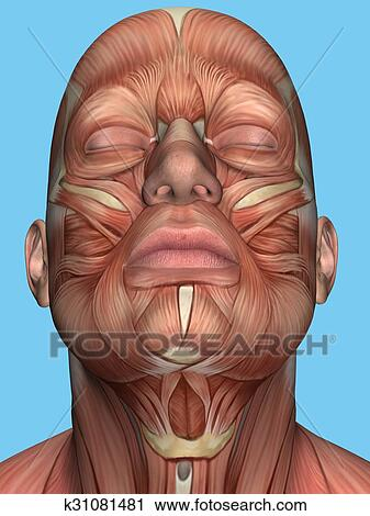Anatomy of face and neck muscles Clip Art   k31081481   Fotosearch