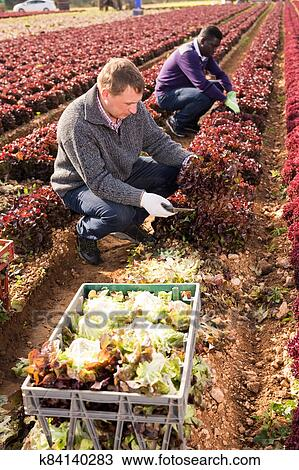 Workmen harvesting red leaf lettuce Stock Image ...