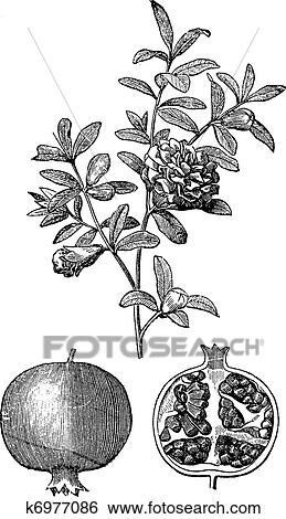 clip art of pomegranate double