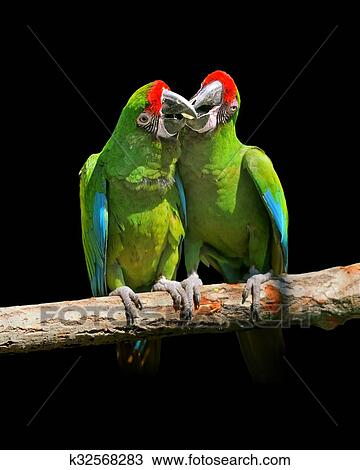 parrot severe macaw stock
