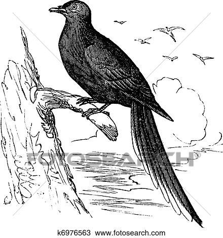 Passenger Pigeon or Wild Pigeon (Ectopistes migratorius