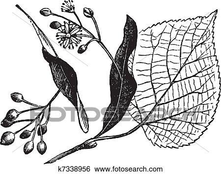 clip art of linden leaf flower