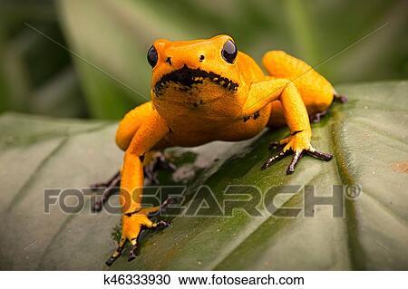 毒, さっと動きなさい, カエル, phyllobates, terribilis, オレンジ ストックイメージ | k46333930 | Fotosearch