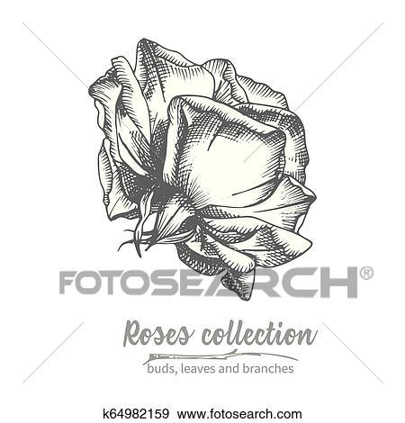 Hand drawn sketch of rose, single bud Detailed vintage