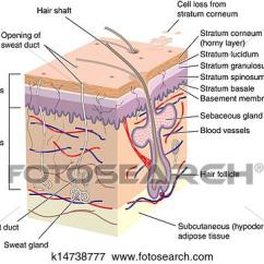 Skin Cross Section Diagram 2001 Nissan Pathfinder Speaker Wiring Stock Illustration Of Human K14738777 Search Fotosearch Eps Clipart Drawings