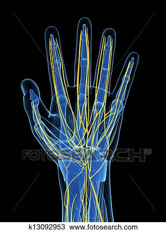 hand nerves diagram home stereo system wiring drawing of human k13092953 search clipart fotosearch illustration fine art prints