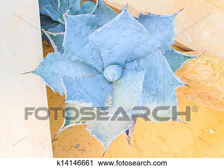 Agave parryi Stock Image   k14146661   Fotosearch
