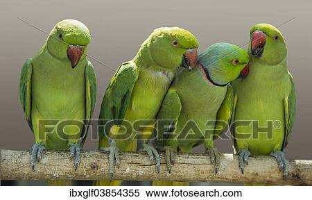 fischer s lovebirds agapornis