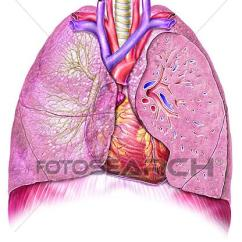 Anterior Heart Diagram Unlabeled Allen Bradley Motor Starter Wiring 3 Phase Irrigation Panel Clip Art Of And Lungs View 9878g Search Fotosearch Clipart Illustration