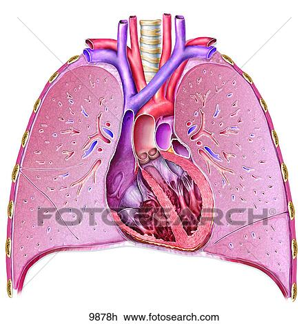 unlabeled heart diagram cross section 98 honda civic ignition switch wiring clip art of and lungs 9878h search fotosearch