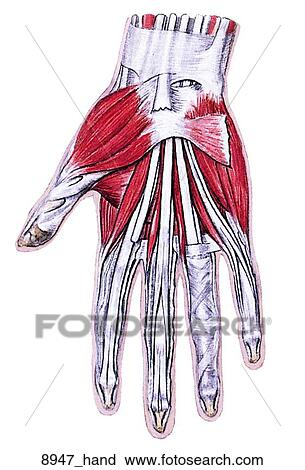 palmar hand muscle anatomy diagram speaker wiring 6 ohm clipart of muscles right view female muscular system unlabeled