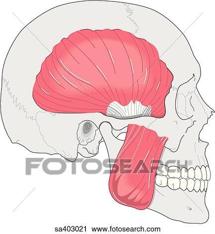 Clipart - vista laterale. di. cranio. esposizione. il. muscoli. usato. in. chewing;. masseter. muscolo. e. temporale. muscle. sa403021 - Cerca ...