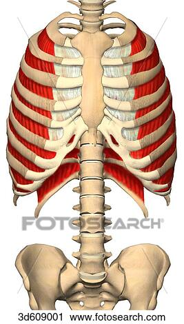 diagram of rib cage and muscles forester radio wiring clipart anterior view the thoracic cavity ribcage showing intercostal their