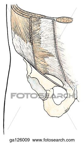 Anterior view of the right lower abdominal muscles. The external oblique muscle has been partially resected to reveal the internal oblique and ...