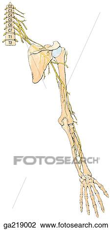 radial nerve diagram photosynthesis and cellular respiration venn clip art of posterior view innervation ga219002 fotosearch search clipart