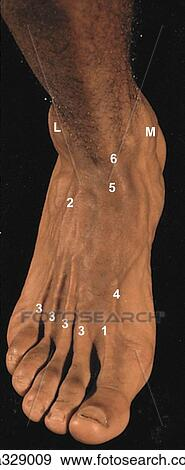 Dorsum of foot. A. Surface anatomy, posterolateral view. (Numbers refer to structures labeled in B). Stock Illustration | ga329009 | Fotosearch