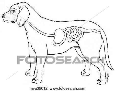 Clip Art of Gastrointestinal system, canine mva35012