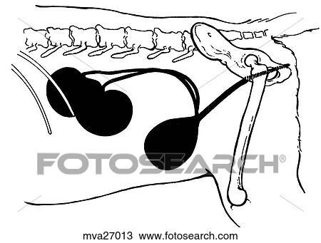 Drawing of Urinary system, female, feline mva27013