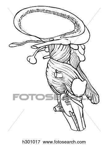 Brainstem Stock Illustration