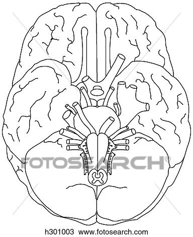 12 Cranial Nerve Coloring Coloring Pages