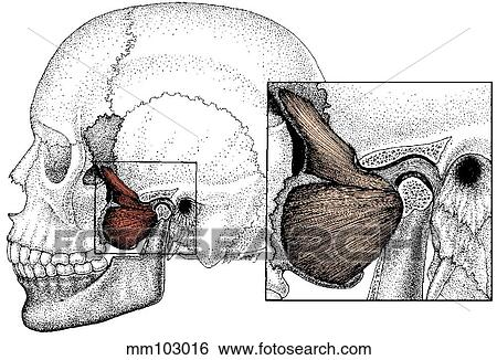 Pterygoid muscle Stock Illustration   mm103016   Fotosearch