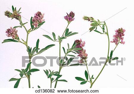 stock of alfalfa medicago