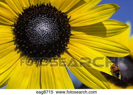 stock of close sunflower