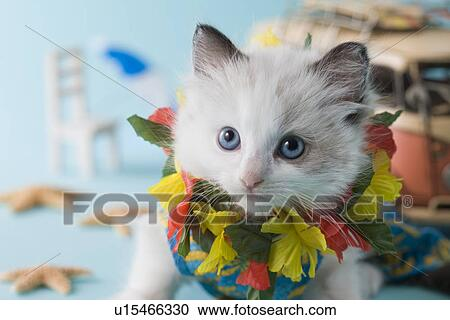 Rag Doll Kitten And Summer Vacation Stock Image U15466330 Fotosearch