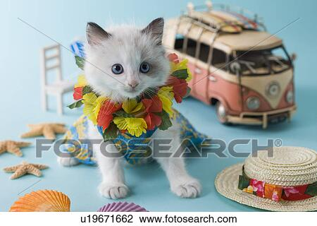 Rag Doll Kitten And Summer Vacation Stock Image U19671662 Fotosearch