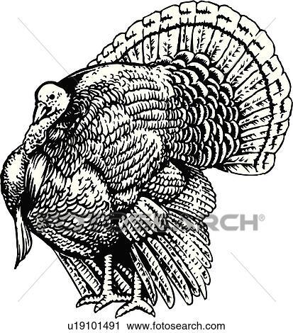 Clipart Of Illustration Lineart Animal Turkey Bird