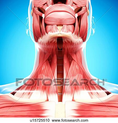 Human neck musculature. artwork Clipart   u15725510   Fotosearch