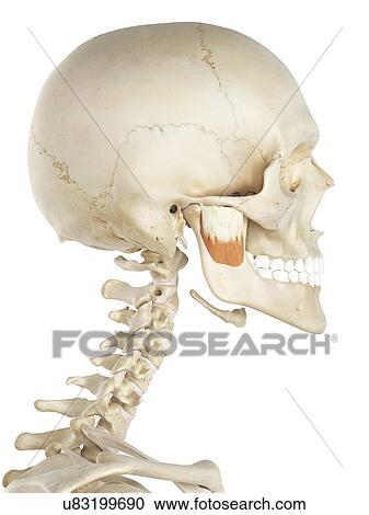 Jaw muscle. artwork Clipart   u83199690   Fotosearch