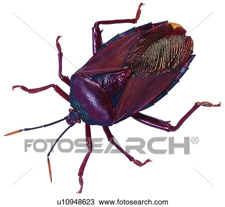 Stink bug, bug Stock Photo   u12307049   Fotosearch