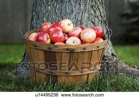 創意設計圖片在線 - 蒲式耳, 在中, 蘋果, 在下面, 樹 u14495236 - 搜索照片,海報照片,圖片及照片剪貼畫 ...