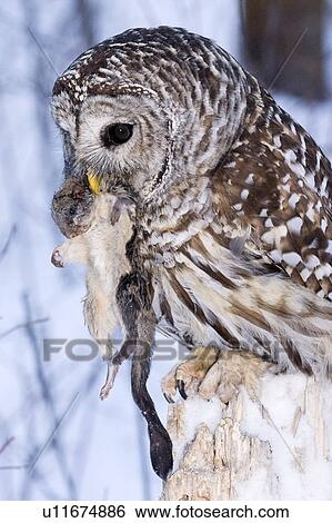 Barred owl (Strix varia) ingesting a northern flying squirrel (Glaucomys sabrinus) northern Alberta, Canada Stock Photograph   u11674886   Fotosearch