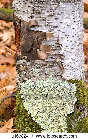 Peeling Bark White Birch