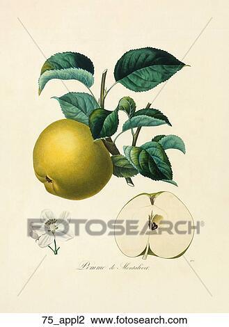 clip art of antique botanical illustration