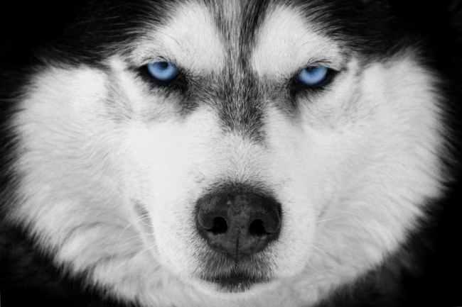 why do siberian huskies