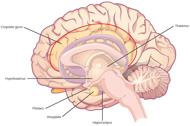 hight resolution of the amygdala controls autonomic responses associated with fear