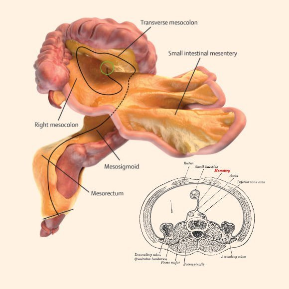 hight resolution of turns out the mesentery is one continuous organ