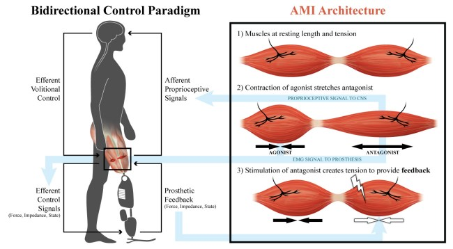 hight resolution of the agonist antagonist myoplastic interface ami consists of muscle pair constructs placed within the residual limb of an amputee