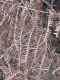 Dried bracken